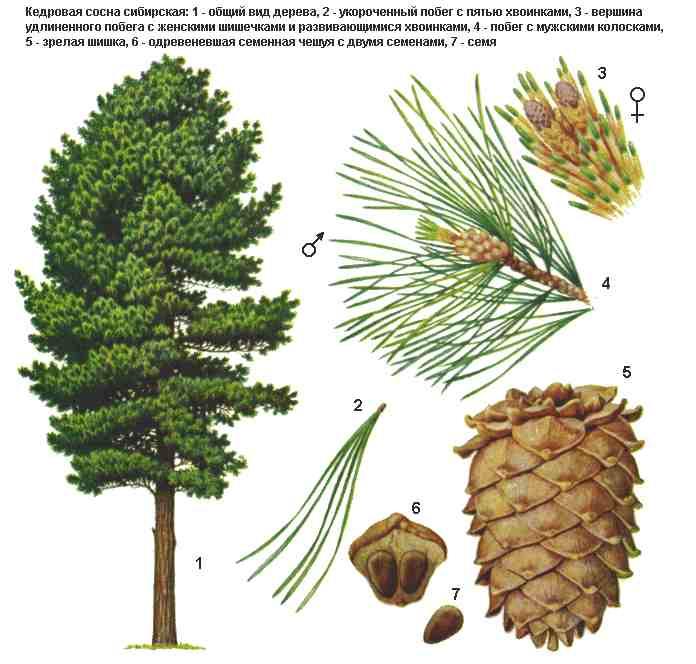 Сосна дерево картинка