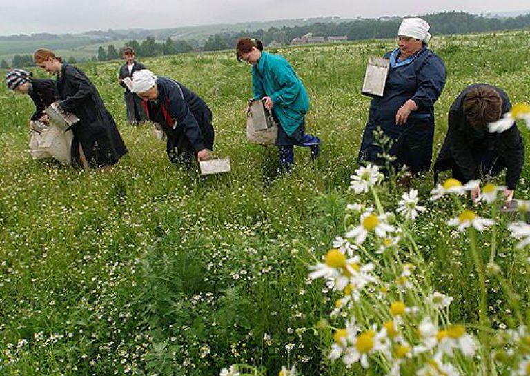 Бизнес на выращивании лекарственных растений 70