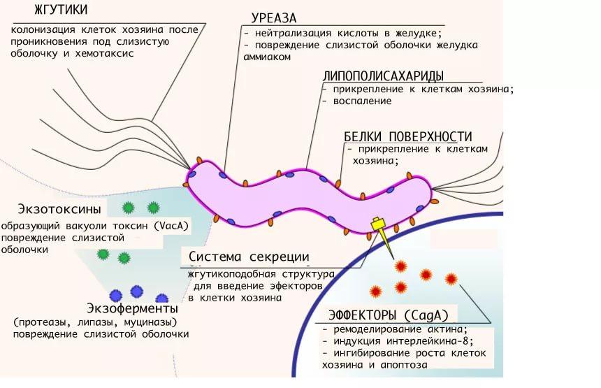 Схема работы хеликобактера