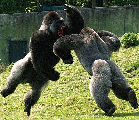 гориллы-сыроеды